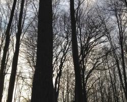 Farum Sø - Ammetræ
