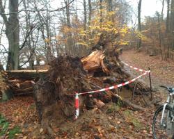 Farum Sø - Væltet træ