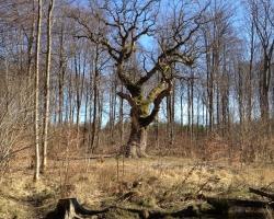 Hareskoven - Eg - Grenaderen